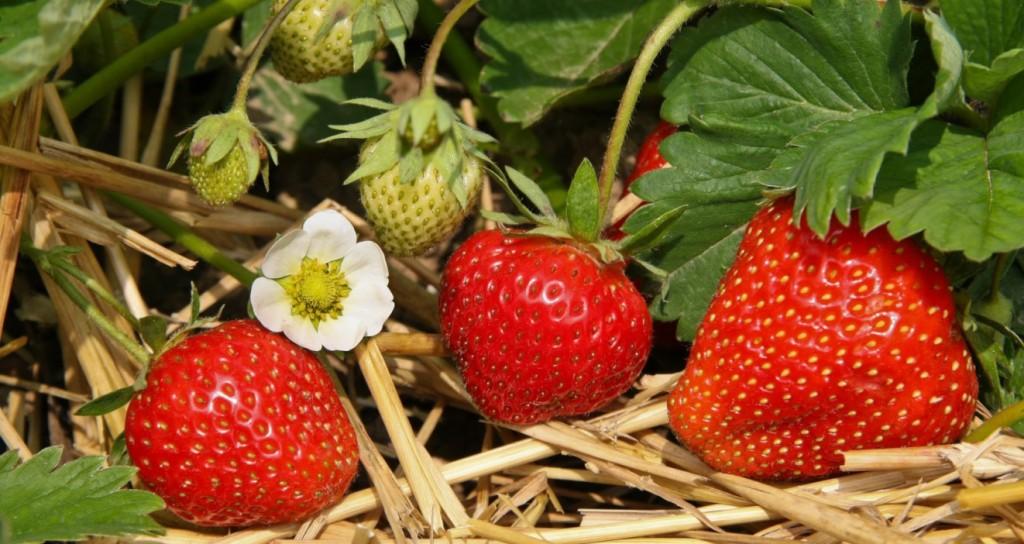 Es ist nun keine neuartige und große Weisheit: Erdbeeren lieben die Kinder allesamt. Und ie Aussicht, selbst Erdbeeren im Garten zu ziehen verlockt auch schon wegen der in Aussicht stehenden Ernte. (#5)